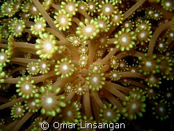 flowers of the underwater world by Omar Linsangan