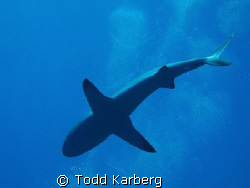 The underbelly of a grey reef shark by Todd Karberg