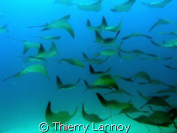 Cabo Pulmo - Sea of Cortez........thousands of Mobula ray... by Thierry Lannoy