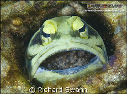 Giant Jawfish brooding eggs. Nikon D2x, 60mm lens manual ... by Richard Swann