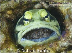 Giant Jawfish brooding eggs. Nikon D2x, 60mm lens manual ... by Richard Swann