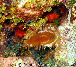 Split-Crown Feather Duster seen on July 2008 at Grand Cay... by Bonnie Conley