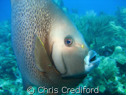 A Gray Angelfish came swimming straight at me.  I had eno... by Chris Crediford