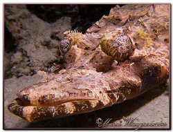 Crocodile Fish (Cymbacephalus beauforti) at Menjangan Isl... by Marco Waagmeester