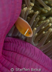 "The ""Pink clowfish"" in pink background, nikon d200 by Steffen Binke"