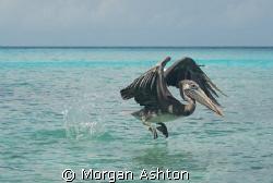 A pelican taking flight at Port Marie beach in Curacao. T... by Morgan Ashton