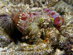 Anemone Crab with extra  green eyes and hairy legs ! 