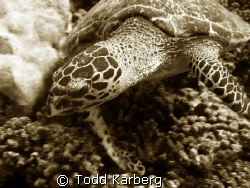 Hawksbill turtle, thought the sepia looked nice by Todd Karberg