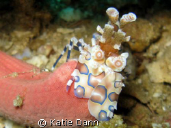 Harlequin shrimp, Similans, Thailand. Taken with Canon G9... by Katie Dann
