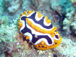 Phyllidia ocellata, big size by Mario Toldo