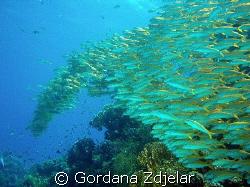 goatfish floating by coral reef by Gordana Zdjelar