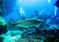 Tarpon seen in Grand Cayman July 2008.  Photo taken with ... by Bonnie Conley