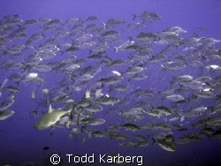 grey reef shark in a school of jacks by Todd Karberg