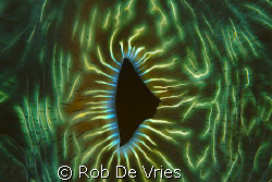 The beautifull colors of the inside of a Giant Clamb, Raj... by Rob De Vries