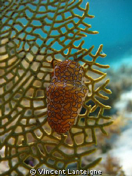 This is a flamingo tongue shot in Turks and Caicos while ... by Vincent Lanteigne