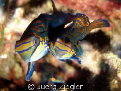 Mating Mandarin Fishes - taken in Moalboal  by Juerg Ziegler