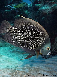 This French Angelfish has the eye and ear to the ground! ... by Steven Anderson