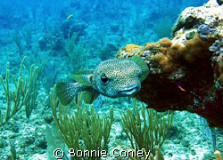 Porcupinefish seen July 2008 in Grand Cayman on the East ... by Bonnie Conley