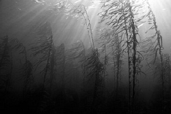 Natural light wide angle of a Southern Ocean kelp forest.... by Cal Mero