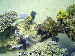 wandering big octopus in a coral garden by Mario Toldo