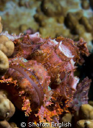 Scorpion Fish - shot taken on Twin Bommies in Port Vila by Sharon English
