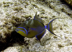 Queen Triggerfish seen July 2008 at the East End of Grand... by Bonnie Conley