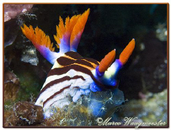 """Lunchtime"" (Nembrotha purpureolineata) at Batu Abah, Nus... by Marco Waagmeester"