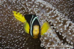Clarke's Clownfish guarding his anemone! by Barbara Schilling