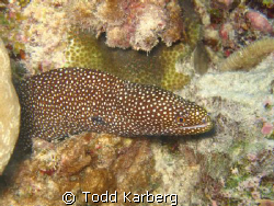 spotted Moray in Moray...A French Polynesia by Todd Karberg