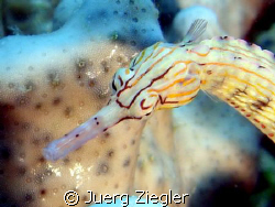 Head of Pipefish by Juerg Ziegler