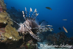 A Lionfish still in his natural habitat in the Indian Ocean. by Barbara Schilling