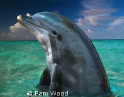 Dolphin in the Bahamas by Pam Wood