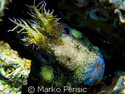A Tompot Blenny (parablennius gattorugine) takes a good l... by Marko Perisic
