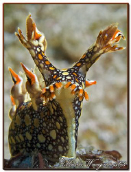 """Standing Up"" (Bornella anguilla) at Batu Abah, Bali (Can... by Marco Waagmeester"