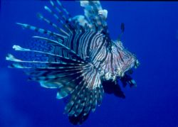 Lionfish in the fabulously blue waters of Fiji.  Taken w/... by Beverly J. Speed