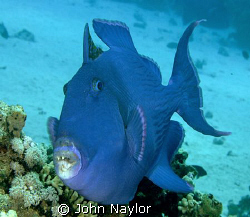 Blue trigger fish. by John Naylor