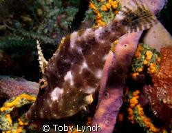 Juvenile slender file fish found on Purple Rain. by Toby Lynch