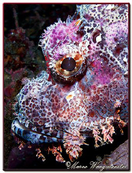 Portrait of a Raggy Scorpionfish (Canon G9, D2000w, UCL165) by Marco Waagmeester