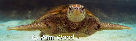 Herman the Green Sea Turtle by Pam Wood