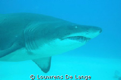 Ragged tooth shark.Seen in December at quarter mile reef ... by Louwrens De Lange