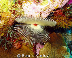 Split-Crown Feather Duster seen July 2008 at Grand Cayman... by Bonnie Conley