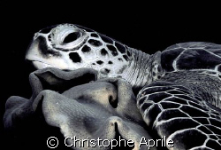 sleeping turtle on coral... by Christophe Aprile