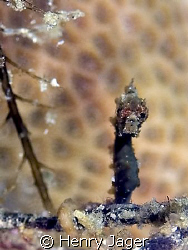 """""""Black Pohonti"""" - Interesting, how this Pygmy was observi... by Henry Jager"""