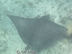 Spotted Eagle Ray North Shore Providenciales.  Leeward si... by Bill Dow