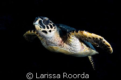 Turtle fly-by.   The turtles in the Caymans are not afrai... by Larissa Roorda