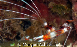 Banded coral shrimp in Bonaire. For some reason this remi... by Morgan Ashton