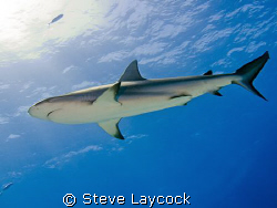 Carribean reef shark, swimming past into the sun by Steve Laycock