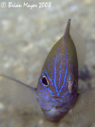 I think this Thai Damselfish (Pomacentrus polyspinus) is ... by Brian Mayes