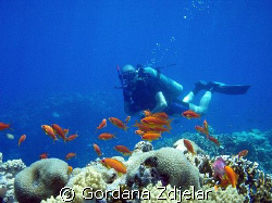 Colourful anthias with a diver in the background. Egypt, ... by Gordana Zdjelar