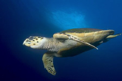 Turtle taken with D100 and 12-24mm. Brothers Islands by Eric Orchin